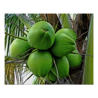 Coconut Poster