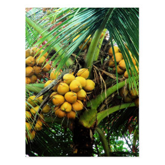 coconuts on the tree postcard