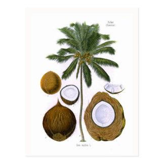 Cocos nucifera coconut palm post card