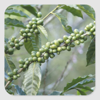 Coffea is a large genus of flowering plants in square sticker