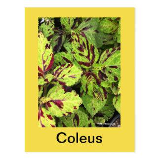 COLEUS POST CARD