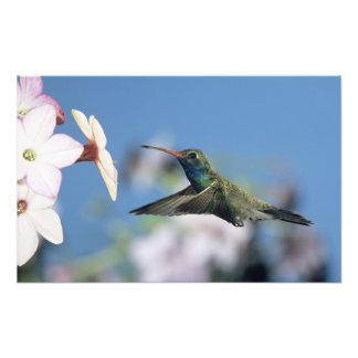colibri Large-affiché, Cynanthus Photo D'art