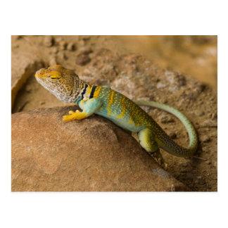 Collared Lizard Postcard