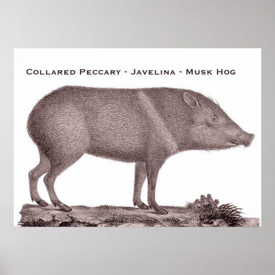 Collared Peccary - Javelina - Musk Hog - Tayaussa Poster
