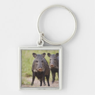 Collared Peccary Pecari tajacu) adults, Santa Keychain