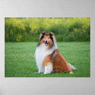 Collie dog beautiful photo poster, print