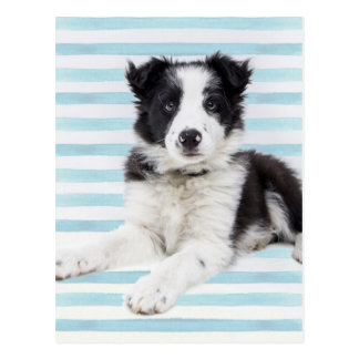 Collie Dog Pup Postcard