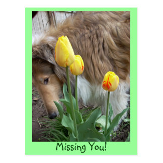 Collie, Missing You! Postcard