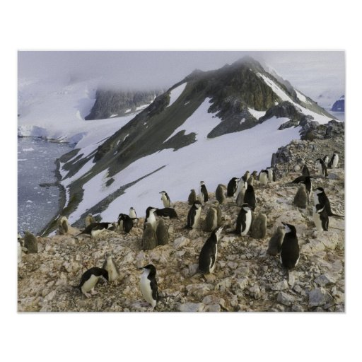 Colony of Chinstrap penguins Poster