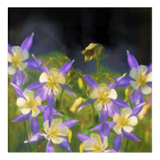 Colorado Blue Columbine Acrylic Print
