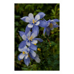 Colorado Blue Columbine near Telluride Colorado Poster