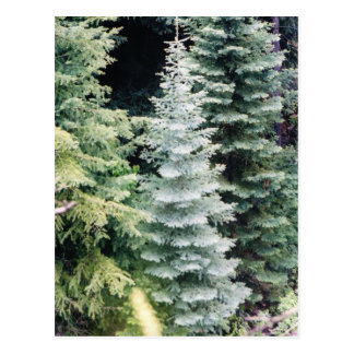colorado pine postcard
