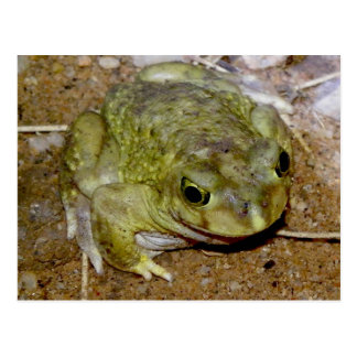 Colorado River Toad Bufo alvarius Postcard