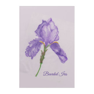 Colored Pencil Art Single Purple Bearded Iris