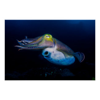 Colorful Cuttlefish Poster