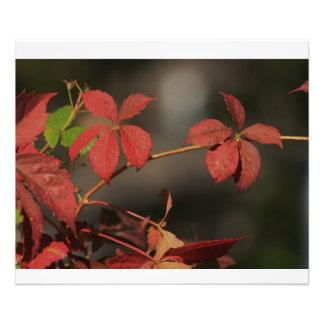 Colorful Fall Kansas Vine Close up Photograph