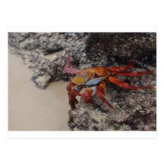 Colorful Galapagos crab post card