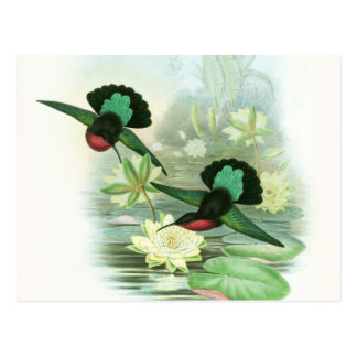 Colorful Gould Hummingbird Waterlilies Postcard