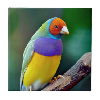 Colorful gouldian finch tile