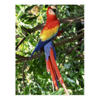 Colorful Macaw Parrot Postcard