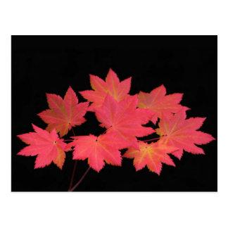 Colorful Maple Leaves... Postcard