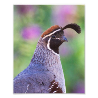 Colorful Quail Photographic Print