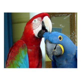Colorful Red and Blue Macaws Postcard