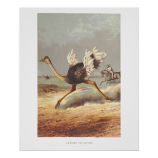 Colorful running ostrich illustration print