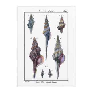 Colorful Seven Seashells Acrylic Print