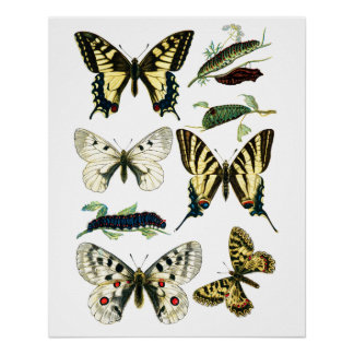 Colorful Swallowtail Butterfly, Caterpillar & Moth Perfect Poster