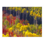 Colourful aspens in Logan Canyon Utah in the Post Card