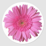 Colourful Bright Pink Gerber Daisy Sticker