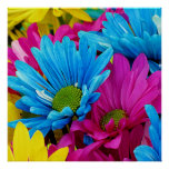 Colourful Hot Pink Teal Blue Gerber Daisies Poster