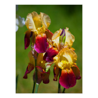 Colourful Iris Poster
