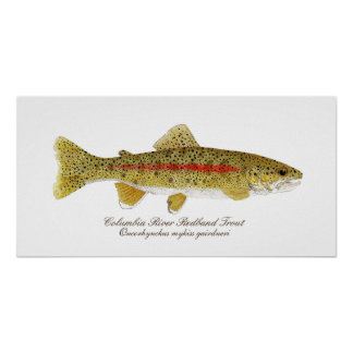 Columbia River Redband Trout Art Poster