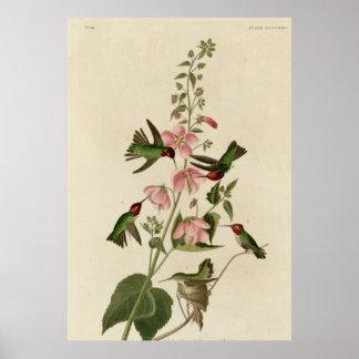 Columbian Hummingbird Poster