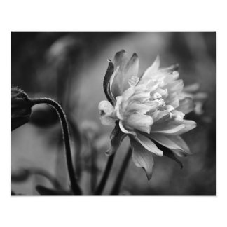 Columbine Flower in Black and White Photo Print