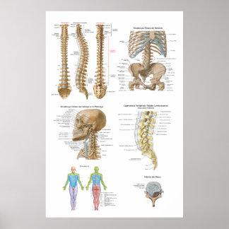 Coluna vertebral Quiropraxia Poster