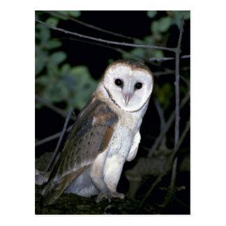 Common barn-owl, Tyto alba, California, U.S.A. Postcard