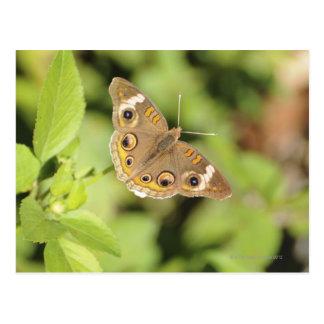 Common buckeye butterfly, Junonia coenia. Postcard