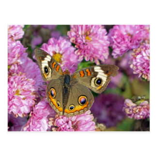 Common Buckeye Butterfly Postcard