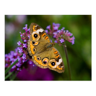 Common Buckeye Postcard