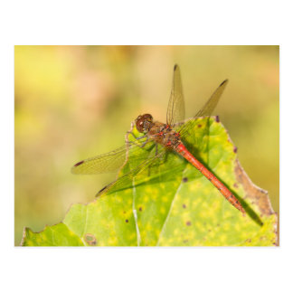 Common Darter Dragonfly Postcard