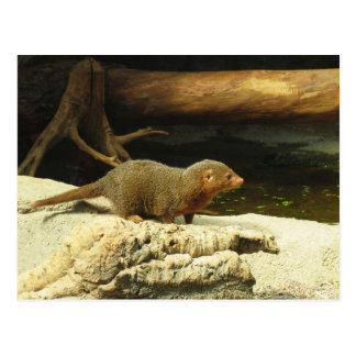 Common Dwarf Mongoose postcard