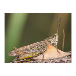 Common Field Grasshopper Canvas Print