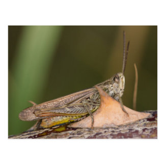 Common Field Grasshopper Postcard