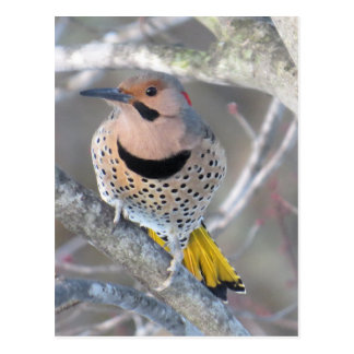 Common Flicker Postcard