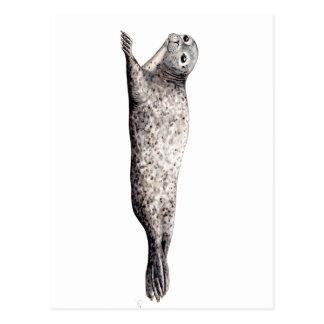 Common Foca Common Seal Postcard