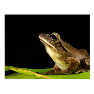 Common Frog on a Leaf Postcard