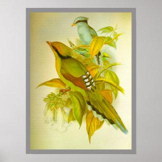 Common Green Magpie Print